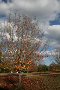 fall tree with no leaves